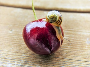 A snail on a cherry