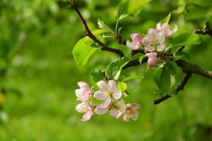 Apple blossom. Photo by Maky Orel on Pixabay [Public Domain, CC0]
