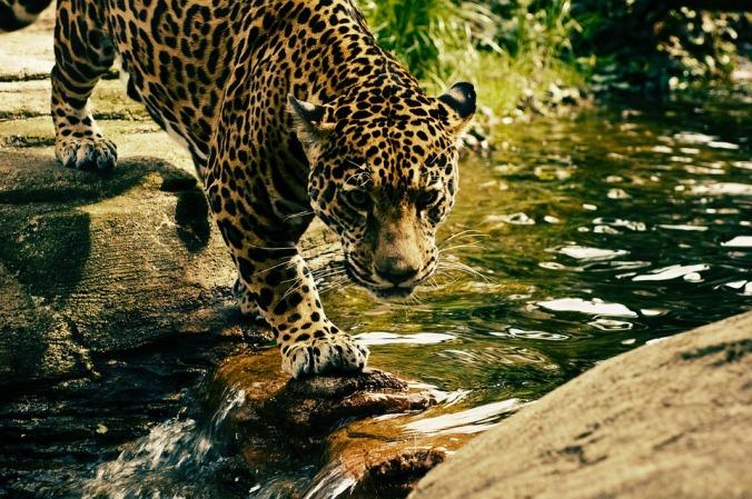 Leopard. [CC0 Public Domain]