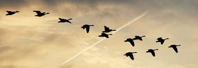 Geese flying - photo by Pixel 2013, Public Domain