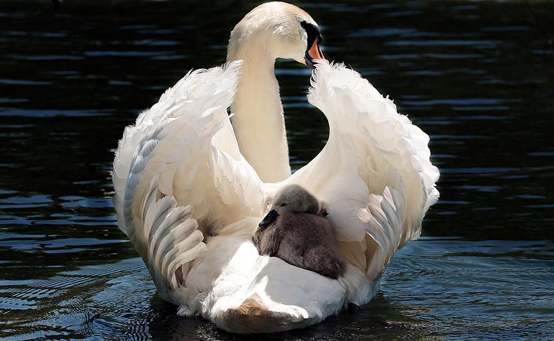 A swan cradling her cygnets in her wings