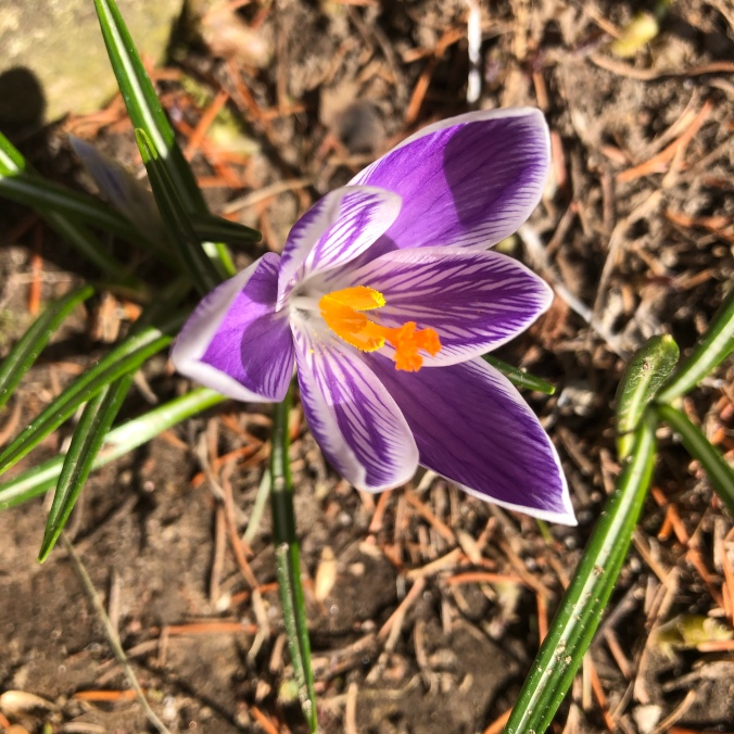 Purple crocus on 5 April