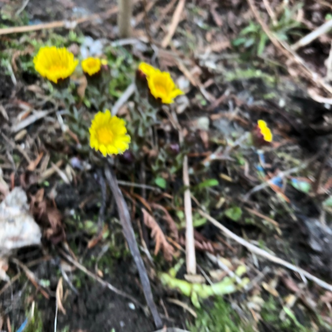 Coltsfoot, 19 April