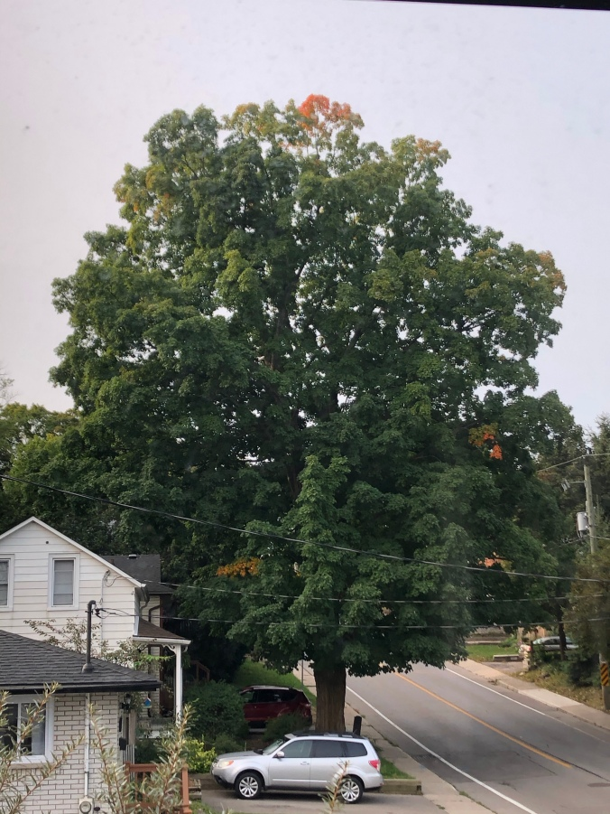 The tree on 14 September 2020. A few hints of autumnal orange.